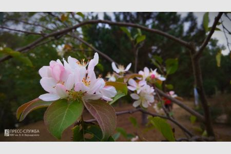 В осеннем Ботаническом саду КФУ зацвела яблоня